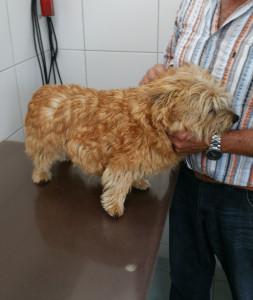 Norwich Terrier Lena