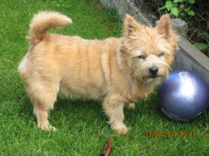 Norwich Terrier Lena getrimmt